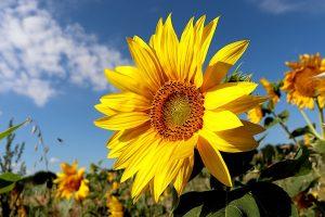 sunflower, plants, fields